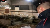 Rubano più di 70 pecore, le nascondono in un'azienda agricola e le macellano abusivamente